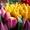 Тюльпаны оптом к 8 марта! #1035232