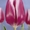 Тюльпаны оптом Беларусь #1041824