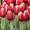 Цветы тюльпаны оптом в Пинске.Возможна доставка по РБ. #1376192