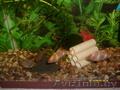 Аквариумные рыбки Барбусы