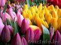 Тюльпаны оптом к 8 марта!