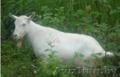 Продаются козлы зааненской породы или один козёл
