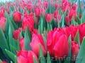 Тюльпаны оптом к 8-му марта.